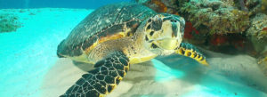 Scuba Diving with a Large Sea Turtle in Cozumel Mexico